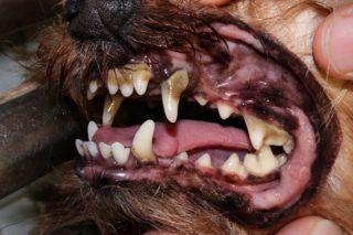 Tartre dans la bouche d'un chien