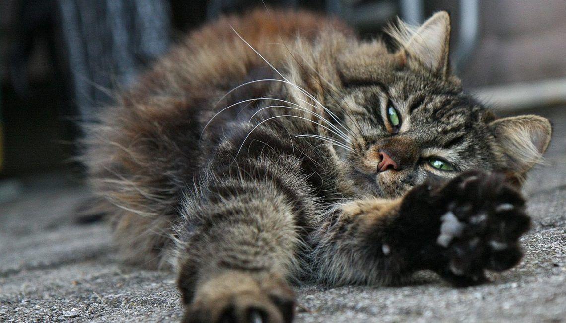 chat qui s'étire