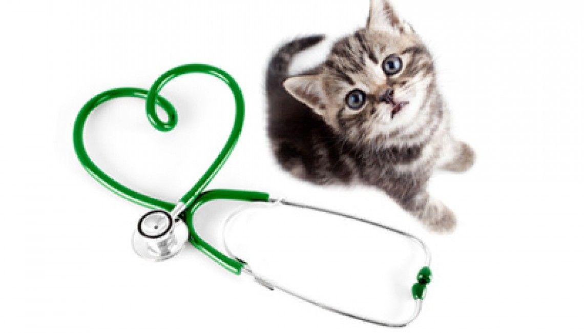 chaton et stéthoscope