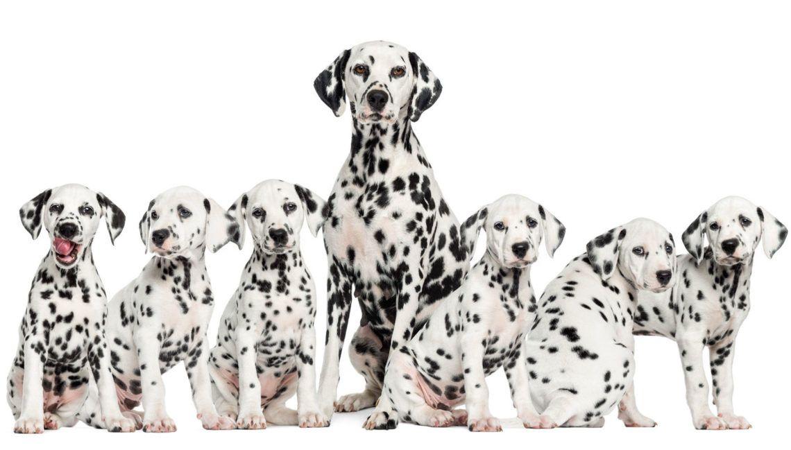 famille dalmatiens