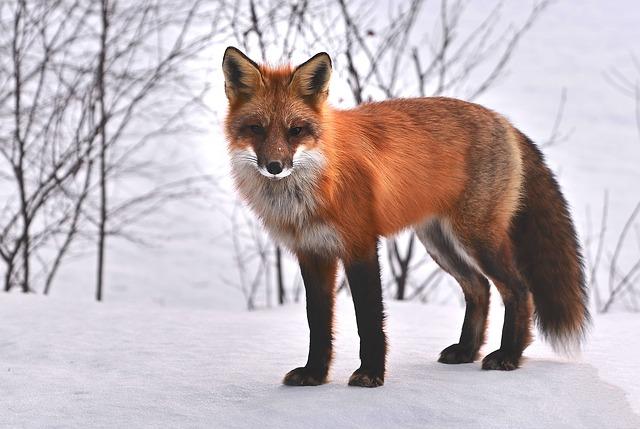 fox-715588_640.jpg